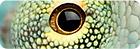 Bild des Auges eines Chamäleons